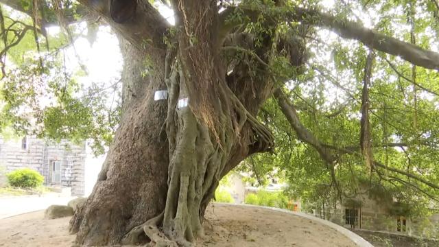 700年古树