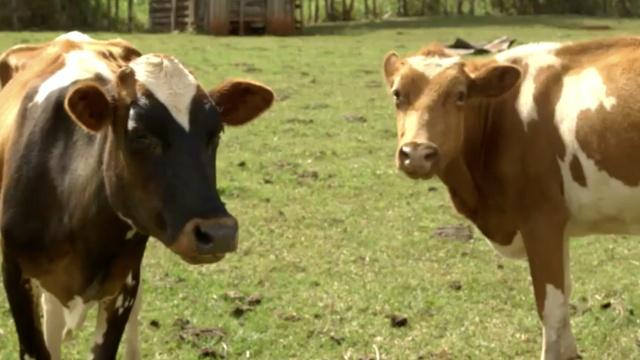 抵御全球变暖出奇招:减少奶牛放屁