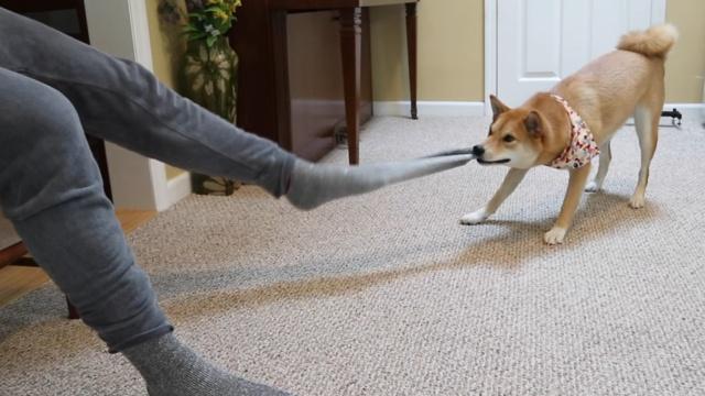 萌!柴犬为主人脱袜子,啥袜子都行