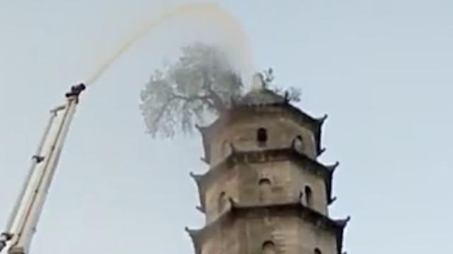 43米高塔顶古树喊渴,消防车忙送水
