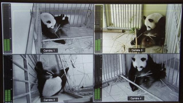 旅法熊猫欢欢怀了双胞胎:重100克
