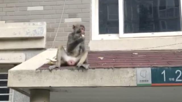 泼猴伤居民,水果诱进警车狂按喇叭