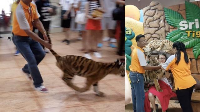 泰国幼虎与游客拍照,扯尾巴拉出笼