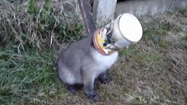 小狐狸让罐头卡住,被救后不愿离开