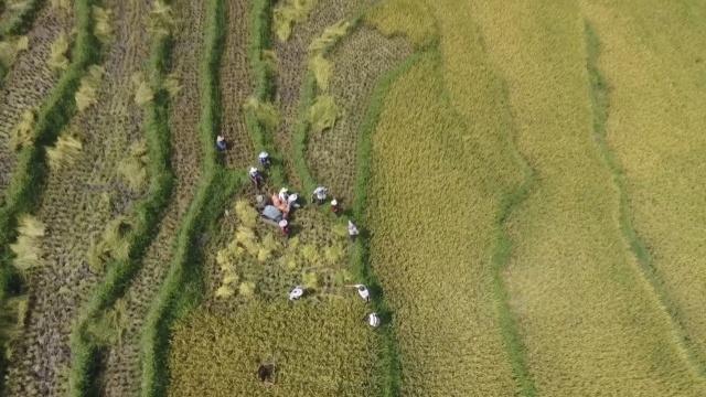 航拍3千亩梯田水稻丰收,粒粒皆辛苦