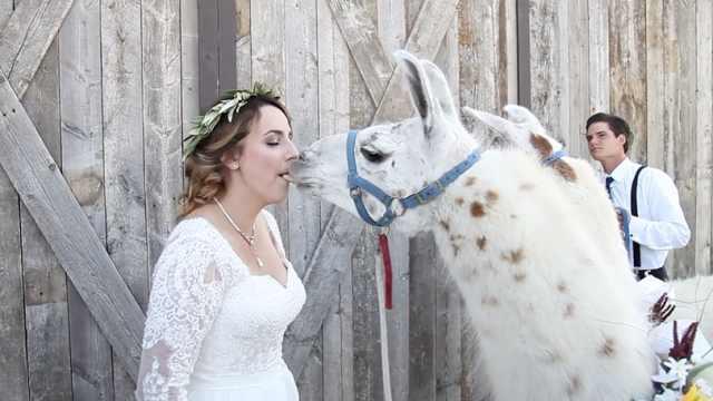 婚礼请来俩羊驼,新娘激动玩亲亲