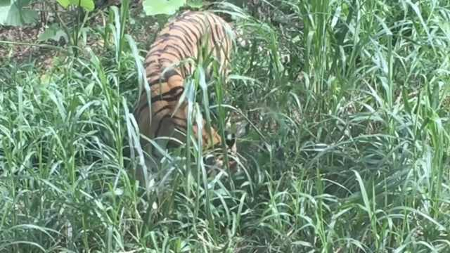 广州动物园老虎地上吃草,身形消瘦