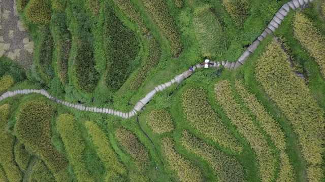 贵州高要梯田金黄一片,水稻正在熟