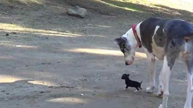茶杯犬遇到大狗子,这身高差好萌