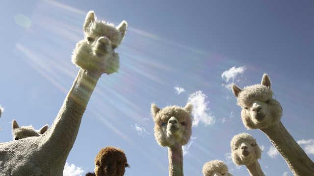 直播:四百只羊驼,一起剃毛做造型