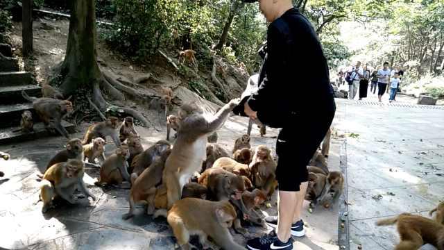 公园猕猴成精,窜上肩头翻包抢水果