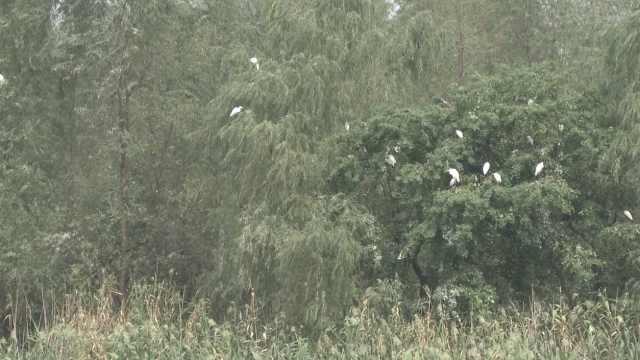 壮观!洋湖湿地公园上演万只白鹭秀