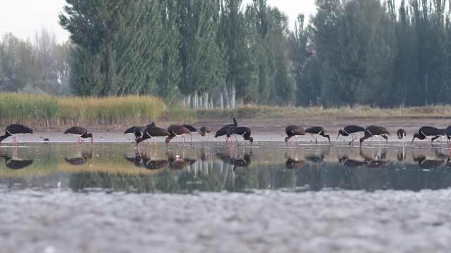 全国最大黑鹳群湿地起舞,鸟友狂拍
