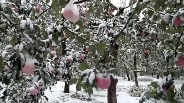 苹果遭大雪压枝,果农担心其颜值低