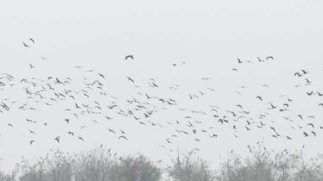 3千鸬鹚洞庭湖越冬,与白琵鹭做邻居