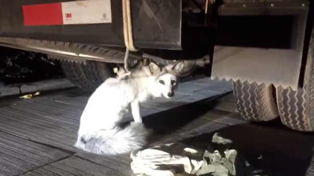 白狐闯小区掉水池,保安一网兜捞起