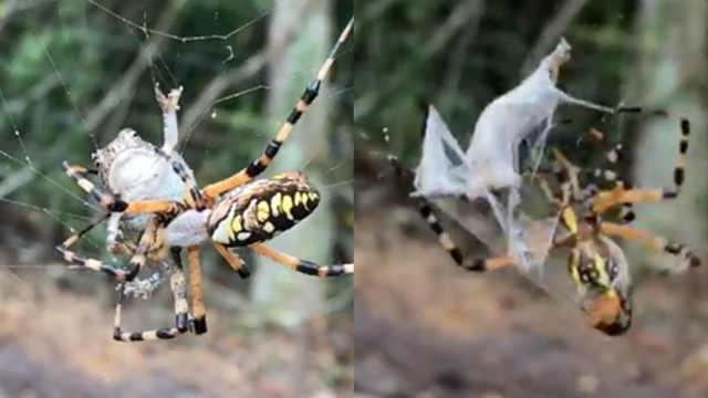 吓人!蜘蛛捕蟾蜍,蛛网瞬间包裹猎物