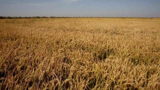 黑龙江小麦开始抢收,金色麦浪迷人