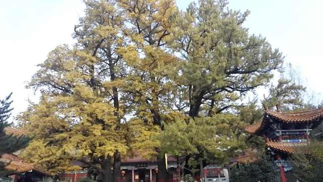 5棵千年银杏结连理,树叶半黄半绿