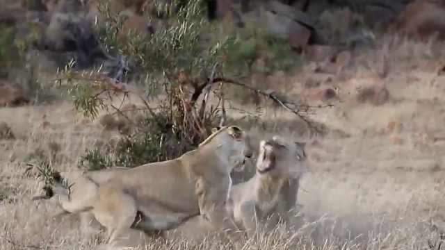 国家地理|狮子开始清理门户了!