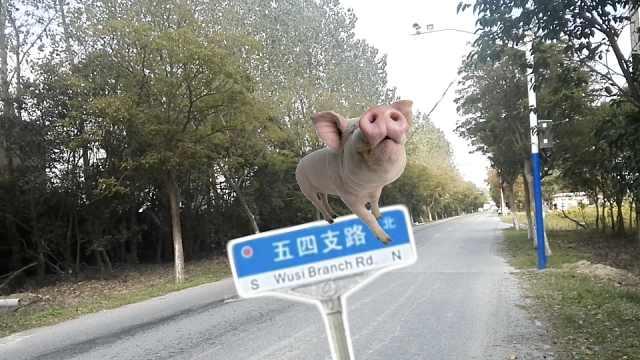 哼哼!上海这些马路上竟然有猪?
