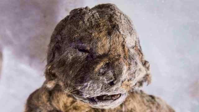 史前5万多年冰冻狮子幼崽惊现俄国