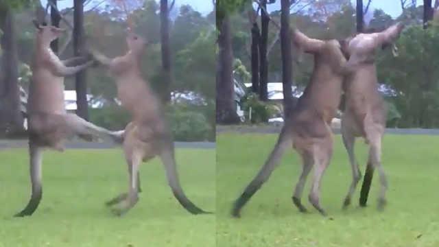 俩袋鼠疯狂对打,拳打脚踢场面超燃