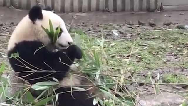 看熊猫吃竹子 居然把我看饿了