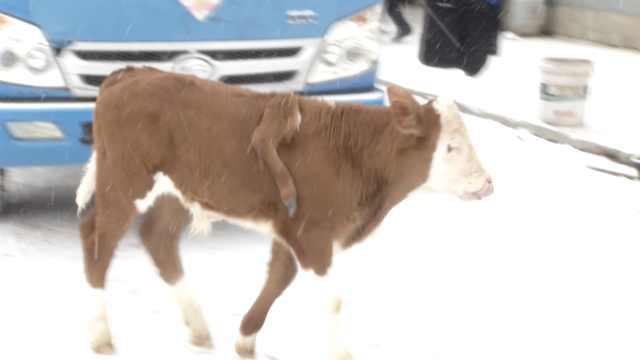 这头小牛有5条腿!1条背在后背上