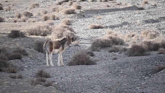 受伤藏野驴被养4年后放生,回首惜别