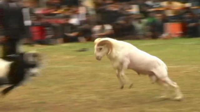 印尼盛行斗羊,比赛前给羊做按摩