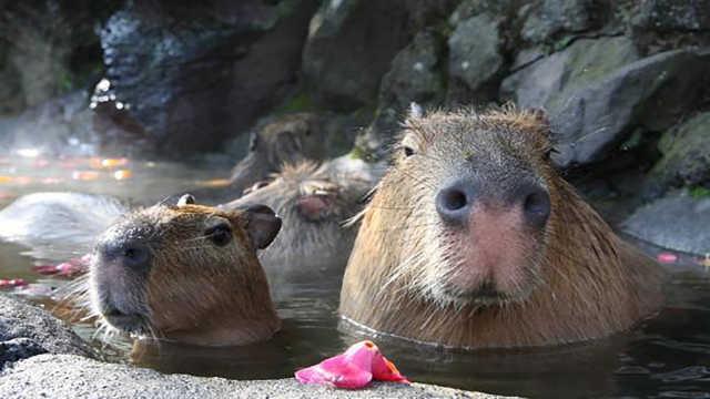 直播:水豚冬日泡热汤,舒服到微醺!