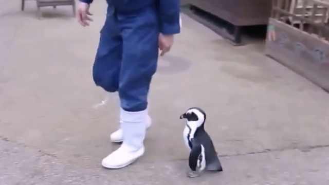 小企鹅追人要吃的,还喊来一群帮凶