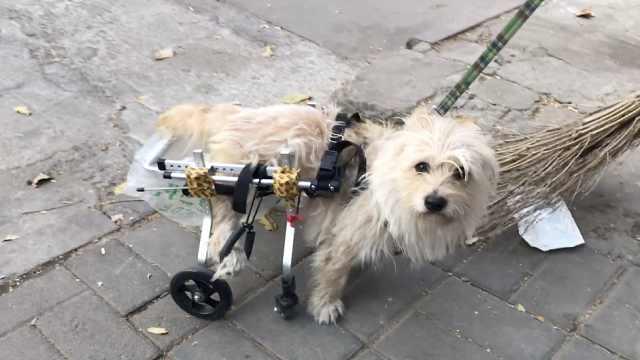 他收养瘫痪狗狗,安装护具带它遛弯