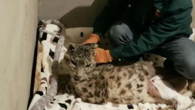 雪豹被车撞重伤,医生为它断骨复位