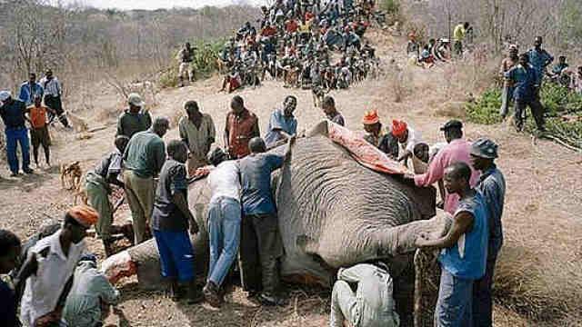 大象这么多肉,为什么没人爱吃?