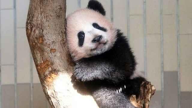 日本人45年前首见大熊猫:万人空巷