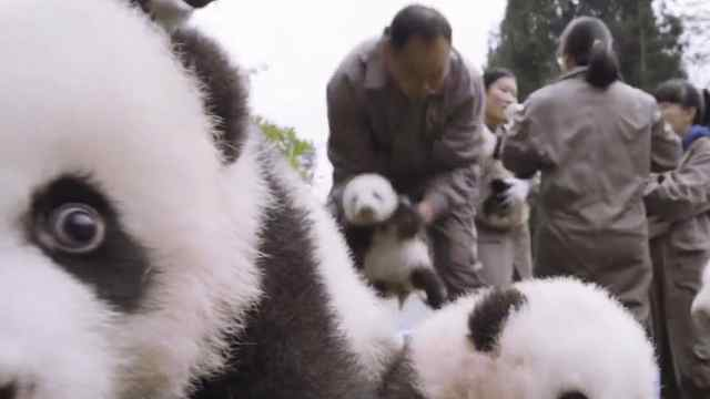 四川人用熊猫便便做纸巾售价昂贵!