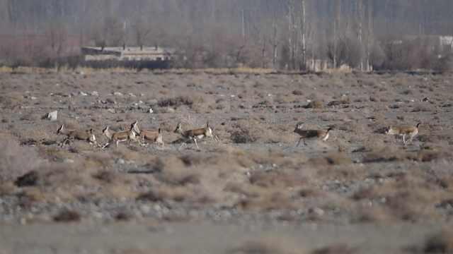 鹅喉羚沙漠撒欢,为求偶追击情敌