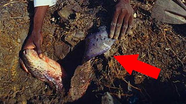 非洲人是怎么从土里挖出鱼的?