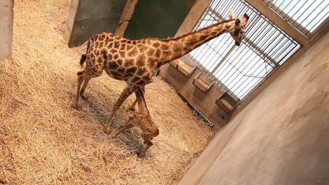 监拍长颈鹿产仔:1.6米仔半小时走路
