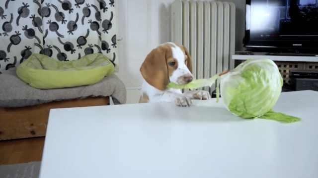 假期吃得太好了,狗狗们决定吃生菜