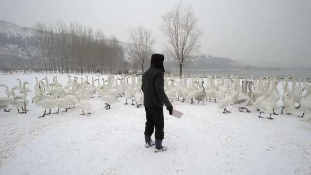 积雪覆盖湿地,2000天鹅靠人工喂食