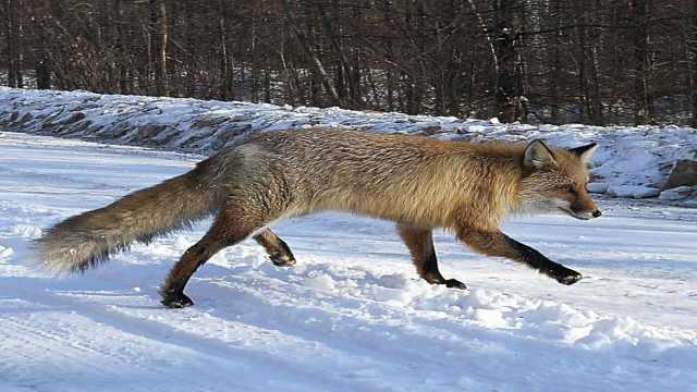 野生狐狸不怕人,雪地溜达卖萌讨食