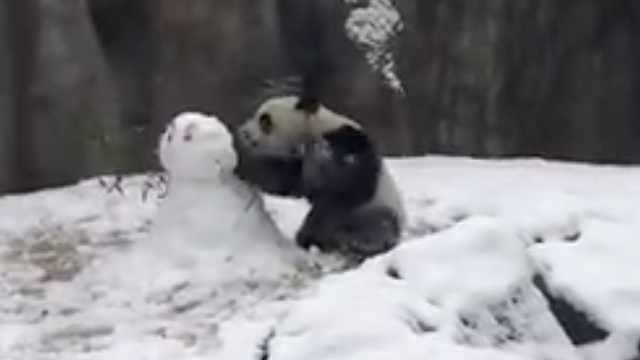真·熊孩子!熊猫见雪人一掌拍翻