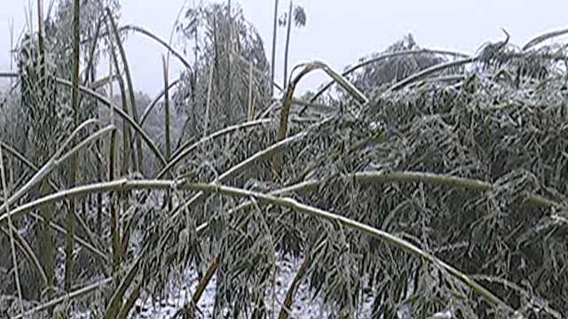 三千亩雷竹受损,群众紧急抗灾自救