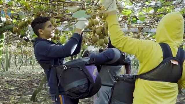 猕猴桃树雌雄有别,公的还更好吃?