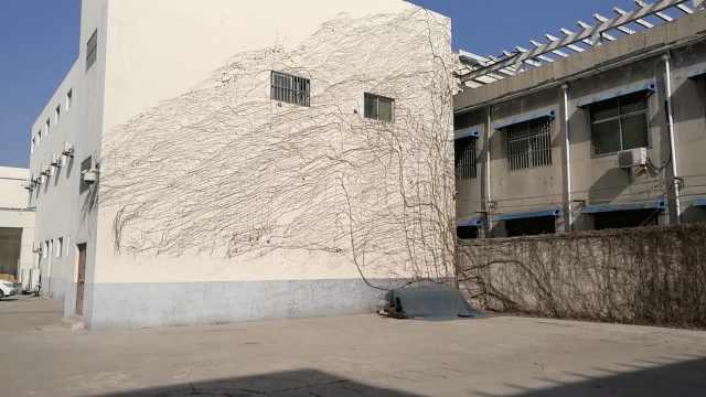 爬山虎落叶剩枯枝,粘墙上像水墨画