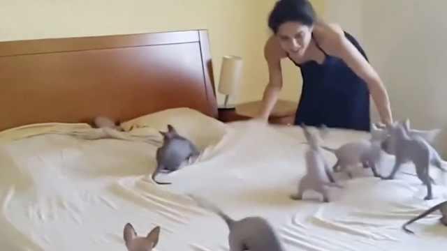帮主人铺床的猫,确定不是捣乱的?