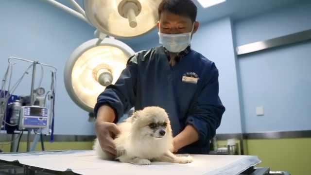 她花万元为瘫痪狗做手术,针灸康复